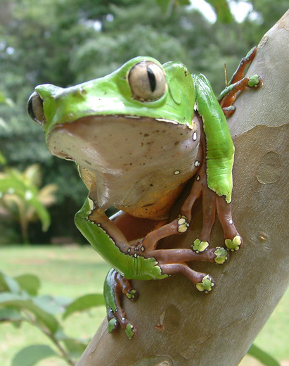 Kambo frog handing on a lead in the amazon rainforest